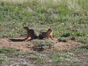 2 prairie dogs