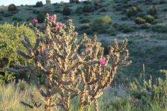Cholla in the evening sun on the hiking trail