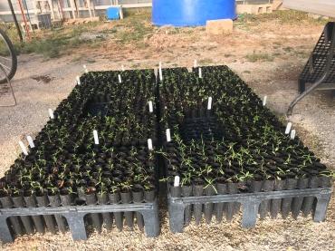 1000 milkweed seedlings!
