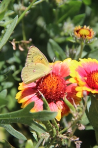 Orange Sulphur butterfly on a cultivar of Gaillardia. indian blanket.